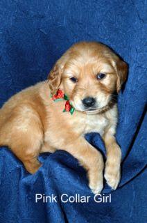Golden Retriever PUPPY FOR SALE ADN-104504 - AKC Golden Retriever Puppies