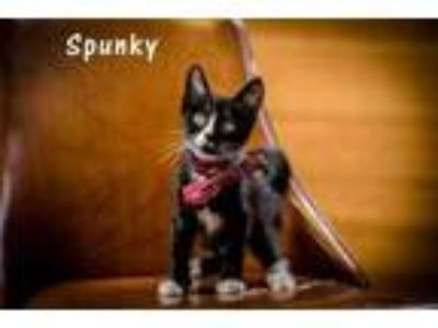 Adopt Spunky a All Black Domestic Shorthair / Domestic Shorthair / Mixed cat in