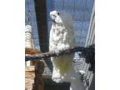 Adopt Baby a Cockatoo