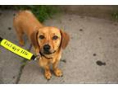 Adopt Redeem *FOSTER NEEDED* a Tan/Yellow/Fawn Dachshund / Mixed dog in New