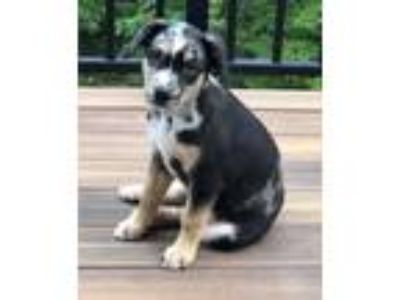 Adopt John a Black - with Gray or Silver Australian Shepherd / Mixed dog in