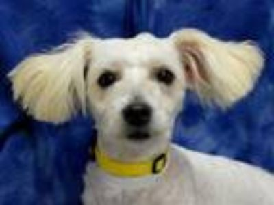 Adopt Mister a Poodle, Mixed Breed