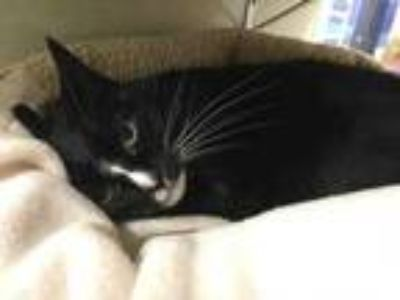 Adopt Holly a All Black Domestic Shorthair / Domestic Shorthair / Mixed cat in