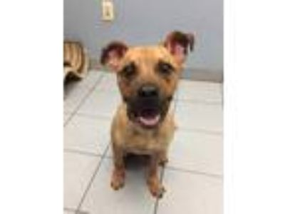 Adopt Wally a Tan/Yellow/Fawn American Staffordshire Terrier / Mixed dog in