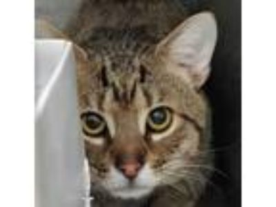 Adopt Marley a American Shorthair, Domestic Short Hair