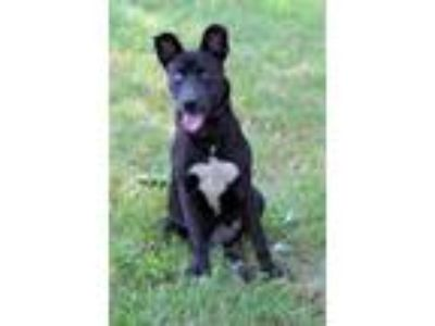 Adopt Nelly a Black - with White Labrador Retriever / Pit Bull Terrier / Mixed