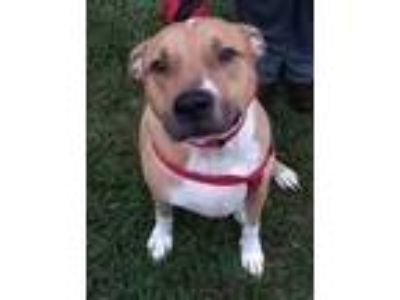 Adopt Cooper a Tan/Yellow/Fawn - with White Pit Bull Terrier / Mixed dog in