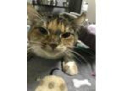 Adopt BELLA VISTA a Domestic Short Hair