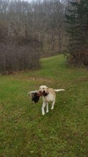 Labrador Retriever DOG FOR ADOPTION ADN-105075 - Lab for adoption