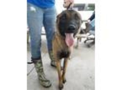 Adopt Baja (real Name) a Mixed Breed (Large) / Belgian Malinois / Mixed dog in
