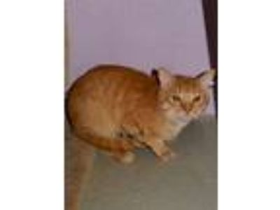 Adopt Egg McMuffin a Domestic Short Hair, Tabby