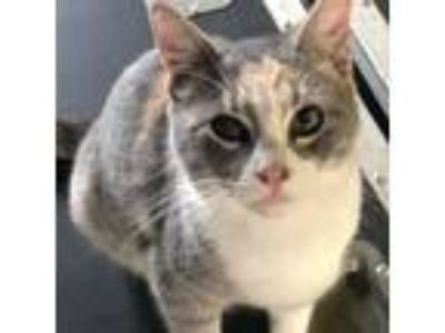 Adopt Pandora a Calico or Dilute Calico Domestic Shorthair (short coat) cat in