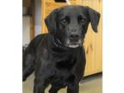 Adopt DeLorean a Black Labrador Retriever