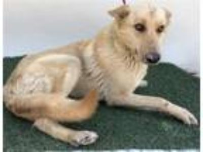 Adopt A205005 a German Shepherd Dog, Mixed Breed