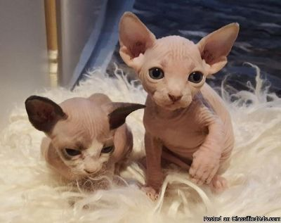 ADEBF M/F Sphynx Kittens Available,