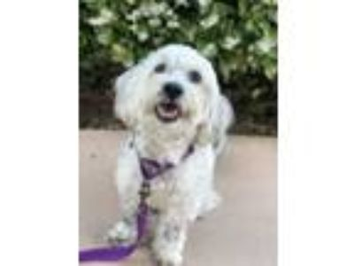 Adopt Maxwell a Poodle