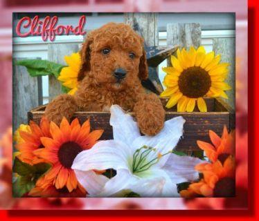 Clifford Male AKC Mini Poodle