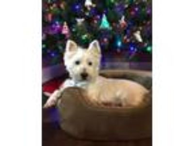 Adopt CHARLIE RAY a White Westie, West Highland White Terrier / Mixed dog in