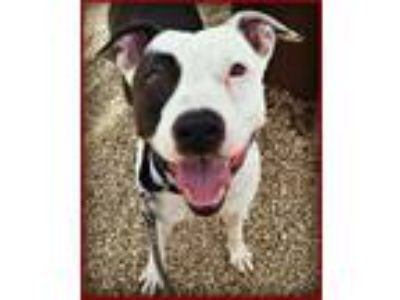 Adopt Dice a American Staffordshire Terrier