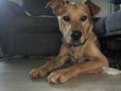 Adopt Rocky a Tan/Yellow/Fawn Shepherd (Unknown Type) / Mixed dog in Boonville