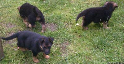 Smart Akc Reg German Shepherd Puppies For Adoption