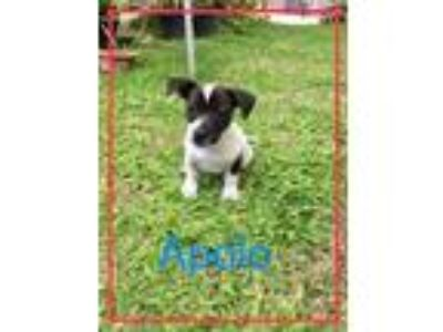 Adopt Apolo a Shih Tzu / Mixed dog in Jenkintown, PA (25311201)