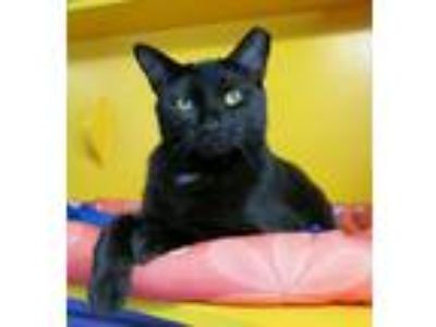 Adopt Maven a Domestic Short Hair