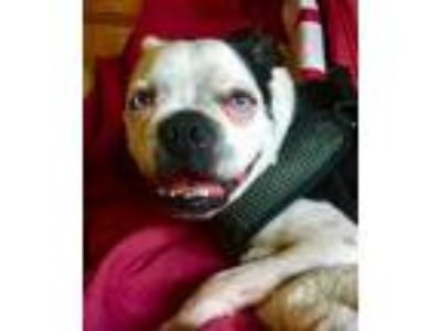Adopt Boogie a Black - with White Boston Terrier / Mixed dog in Irving