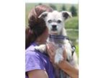Adopt Jim Socks a Brown/Chocolate Toy Fox Terrier / Terrier (Unknown Type