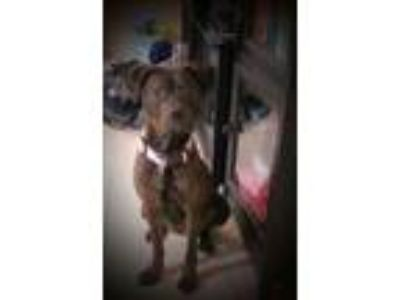 Adopt Lilley a Brindle American Pit Bull Terrier dog in Splendora, TX (25890531)