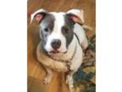 Adopt Marley (courtesy listing) a Pit Bull Terrier
