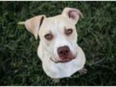 Adopt PALOMA a Pit Bull Terrier, Pug