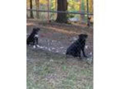 Adopt Frankie a Black Labrador Retriever / German Shepherd Dog / Mixed dog in
