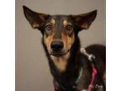 Adopt Sheba SH Texas a Brown/Chocolate - with Tan Doberman Pinscher / Greyhound