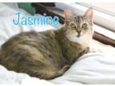 Adopt Jasmine a Domestic Short Hair