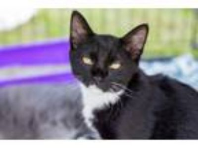 Adopt Phoebe (Polydactyl) a Domestic Short Hair