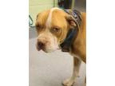 Adopt Turk a Red/Golden/Orange/Chestnut American Pit Bull Terrier / Mixed dog in