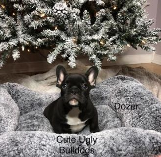 French Bulldog PUPPY FOR SALE ADN-105046 - Dozer  French Bulldog