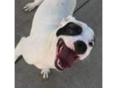 Adopt Patch a Pit Bull Terrier