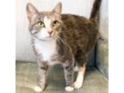 Adopt Baby Cat a Calico or Dilute Calico Domestic Shorthair cat in Woodstock