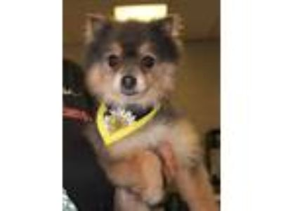 Adopt Roni a Gray/Blue/Silver/Salt & Pepper Pomeranian / Mixed dog in