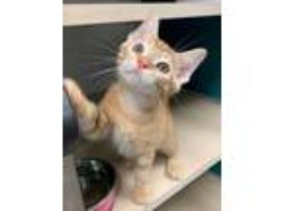 Adopt Mac a Orange or Red Domestic Shorthair / Domestic Shorthair / Mixed cat in