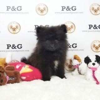 Pomeranian PUPPY FOR SALE ADN-96628 - POMERANIAN BEN MALE