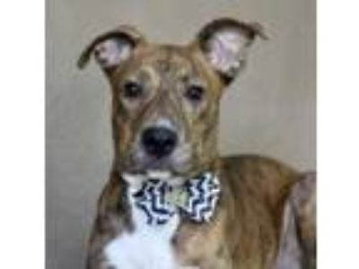 Adopt Tigger a Brindle Catahoula Leopard Dog / Mixed dog in Picayune