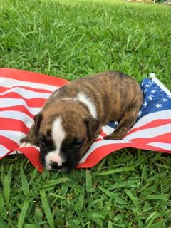 Boxer-Valley Bulldog Mix PUPPY FOR SALE ADN-95193 - Valley Bulldog puppies