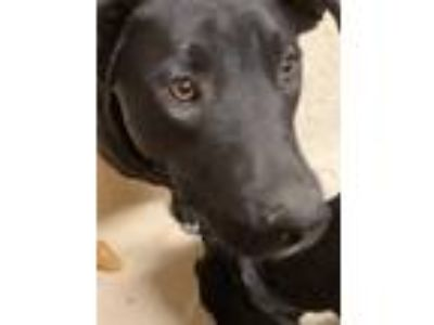 Adopt Kiwi puppy a Black Labrador Retriever / Carolina Dog dog in Westminster
