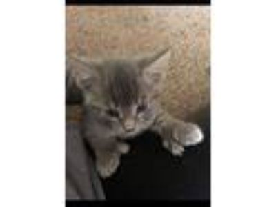 Adopt Mittens a Extra-Toes Cat / Hemingway Polydactyl, Tabby