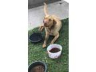 Adopt Copper a Tan/Yellow/Fawn Labrador Retriever / Mixed dog in Tinley Park
