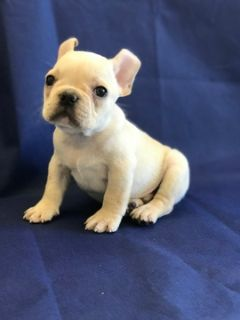 French Bulldog PUPPY FOR SALE ADN-75709 - BENTLEY THE MINI FRENCH BULLDOG