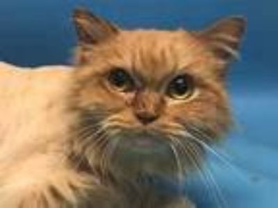 Adopt Dax a Orange or Red Domestic Longhair / Domestic Shorthair / Mixed cat in